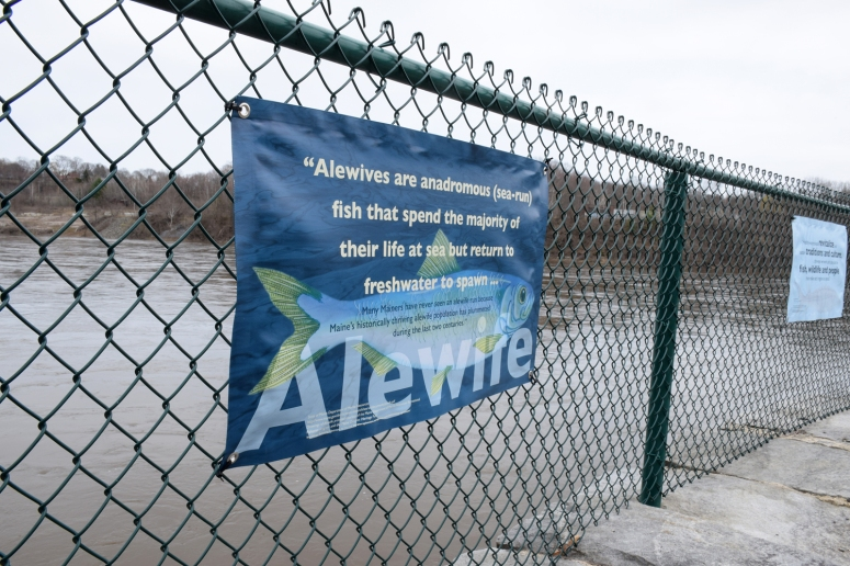 ALewife - fish banner