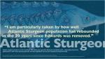 Atlantic Sturgeon